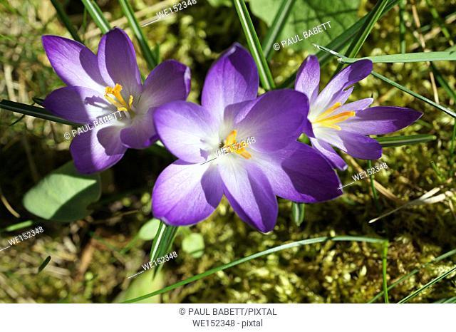 Purple crocuses, Germany, early spring