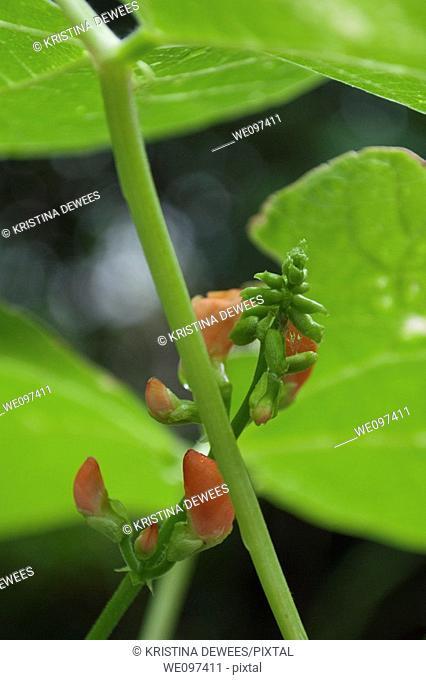 Some scarlet runner bean flowers budding under the leaves