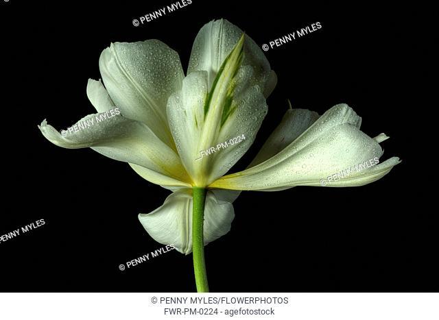 Tulip, Tulip 'Exotic Emperor', Tulipa fosteriana 'Exotic Emperor', Studio shot of white flower.-