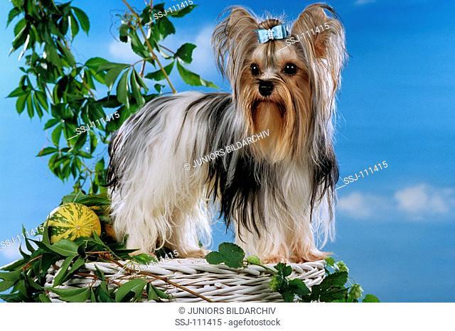 yorkshire terrier standing on basket