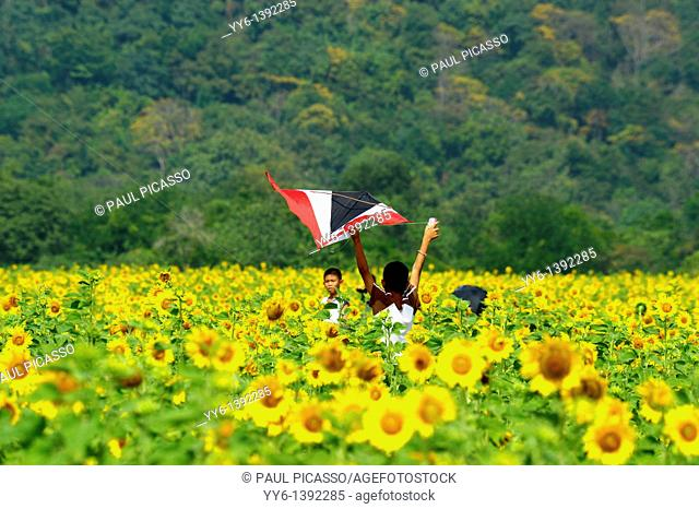 boys flying kites , sunflower fields of lopburi and saraburi, central Thailand
