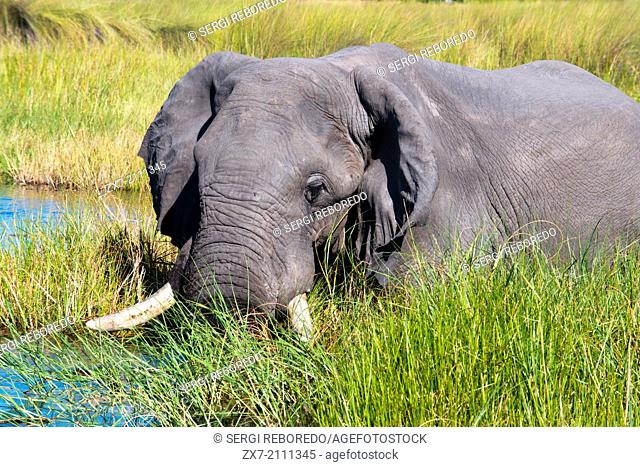 """""""An elephant wanders the camp nearby Eagle Island Camp by Orient Express , outside the Moremi Game Reserve in Botswana. Located in the Central Okavango Delta"""