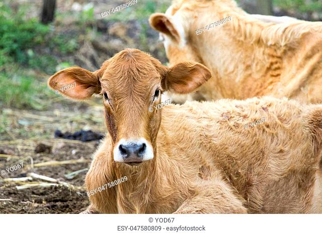 Image of brown cow on nature background. Farm Animal