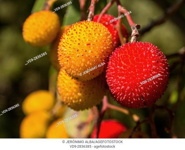 Madroño, Strawberry Tree Arbutus unedo. Sierra Blanca forest near Refugio Juanar, Ojen Malaga province Costa del Sol. Andalusia southern Spain