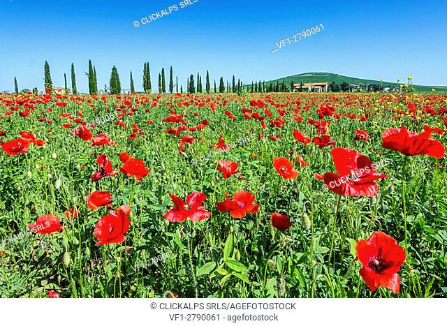 Expanse of poppies and cypresses. Orcia Valley, Siena district, Tuscany, Italy