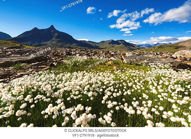 Blooms of cotton grass at Gaviapass, Brescia province, Lombardy, Italy