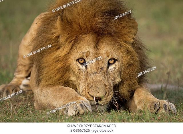 Lion (Panthera leo), male, in attack position