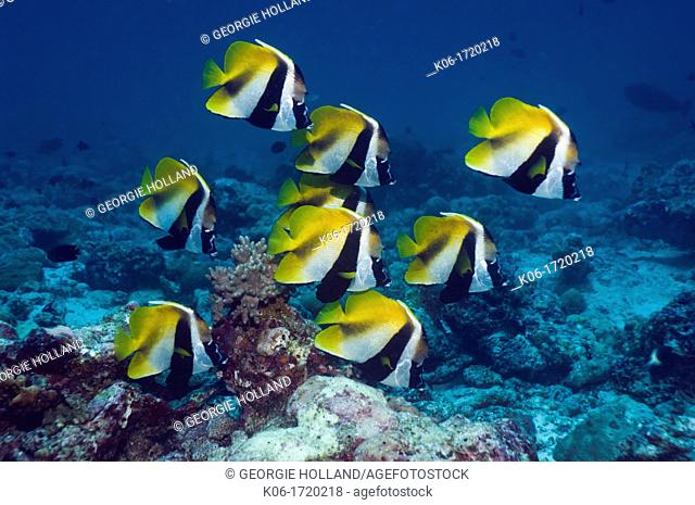 Masked bannerfish Heniochus monoceros school at rest  Maldives  Indo-West Pacific