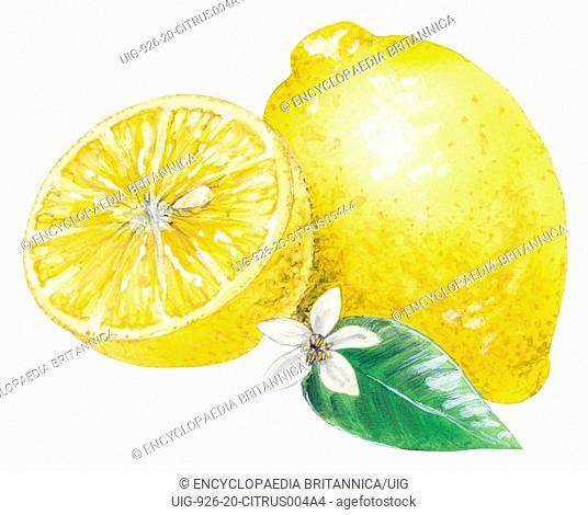 Lemon, citrus fruit