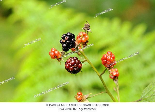 A ripe of ripening, and unripe blackberries (Rubus fruticosus)
