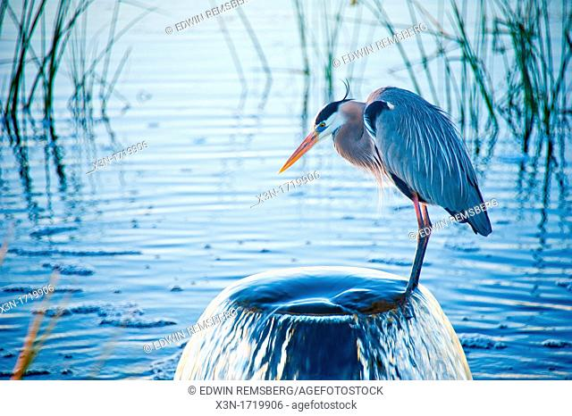 Heron perches on overflowing pipe in water