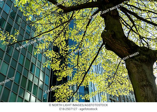 Canada, BC, Vancouver. Bright green leaves on street tree in downtown Vancouver. Office towers of the financial district in background