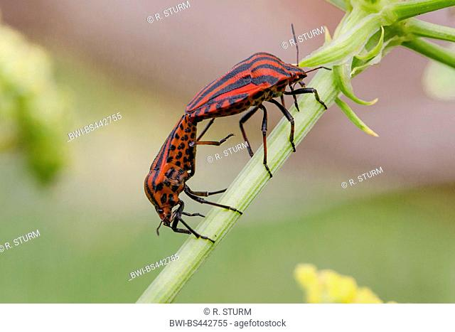 Italian Striped-Bug, Minstrel Bug (Graphosoma lineatum, Graphosoma italicum), copulation, Germany, Bavaria