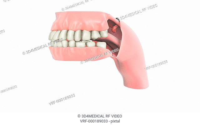 Depiction of the teeth and gums with cutaway pharynx revealing the upper esophagus and uvula in the soft palate. The model rotates 360 degrees