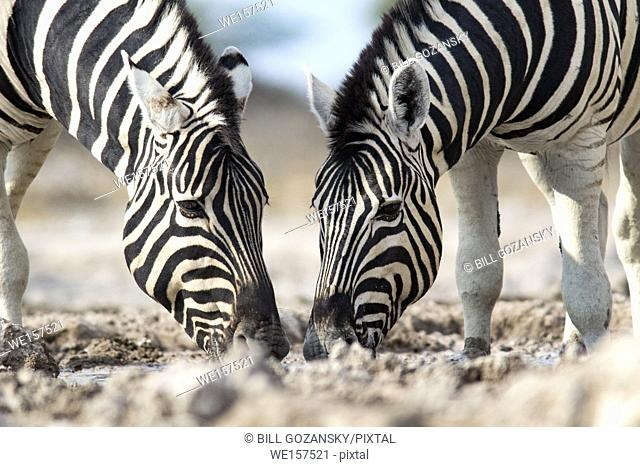 Burchell's zebra (Equus quagga burchellii) - Onkolo Hide, Onguma Game Reserve, Namibia, Africa