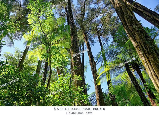 Silver Tree ferns (Cyathea dealbata) in tropical rainforest, Whanganui National Park, North Island, New Zealand