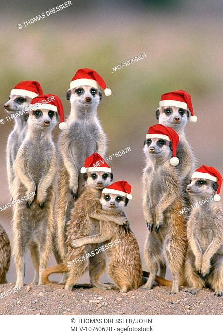 Suricate / Meerkat - family with young on the lookout at the edge of its burrow, wearing Christmas hats. (Suricata suricatta)