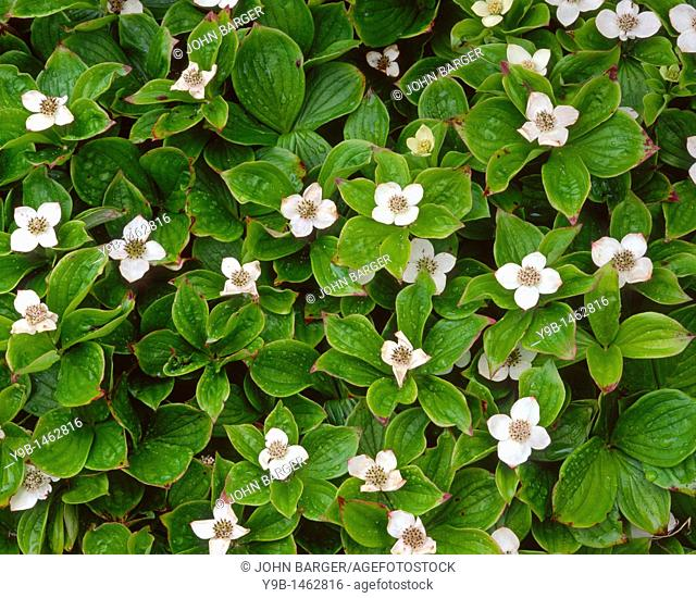 White blossoms of bunchberry Cornus canadensis after a rain shower, Green Point, Gros Morne National Park, western Newfoundland, Canada