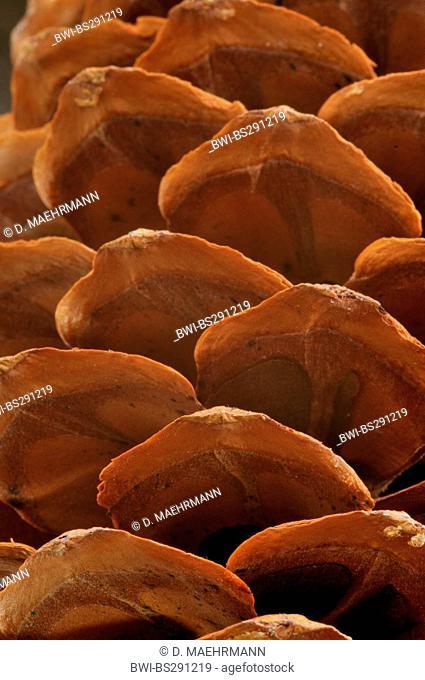 Bhutan Pine, Himalayan Pine (Pinus wallichiana), cone scales