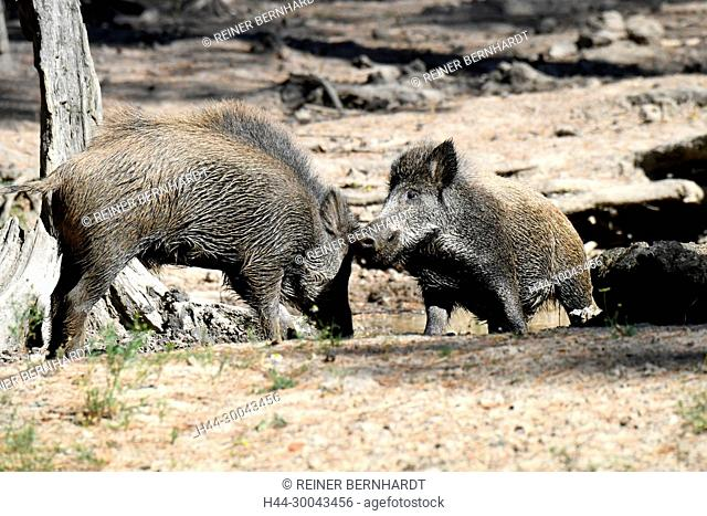 Pigs, real pigs, cloven-hoofed animals, sow, making a mess, making a mess in summer, making a mess in the wallowing, black smock, black game, pig, pigs, Suckel