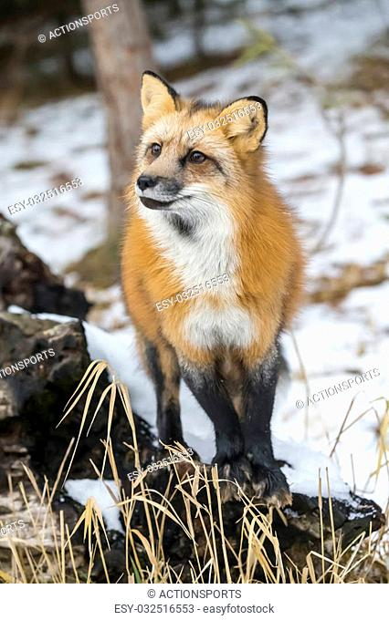 A Red Fox hunting for pray in a snowy environment