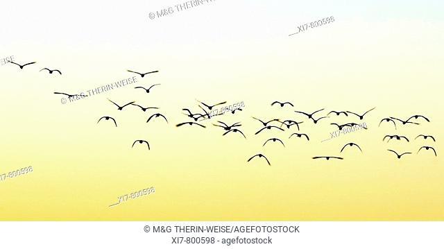 Flock of birds at sunset, Kaziranga National Park, UNESCO World Heritage Site, Assam, India