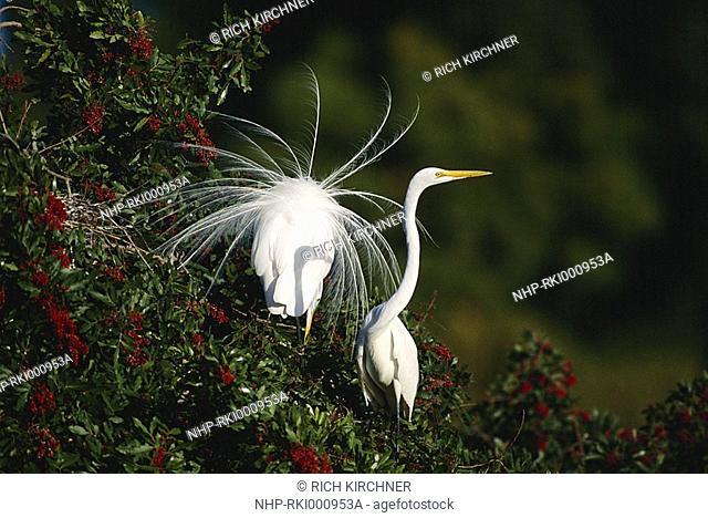 GREAT EGRET Casmerodius albus male displaying to female Florida, USA