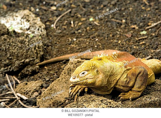 Galapagos Land Iguana Captive - Charles Darwin Research Station - Santa Cruz Island, Galapagos Islands, Ecuador