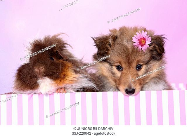 Shetland Sheepdog. Puppy (6 weeks old) and a long-haired guinea pig sitting in a pin-and-white striped box. Studio picture against a pink background