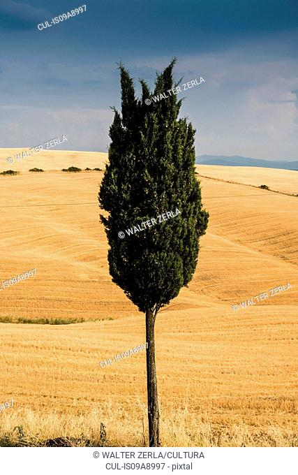 Lone cypress tree in Tuscan landscape, Italy