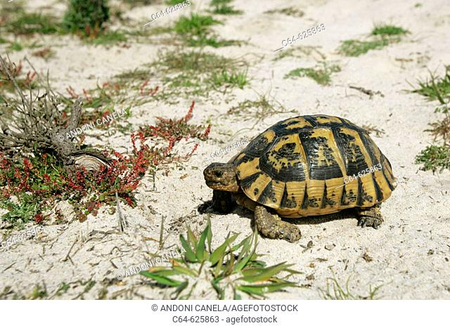Spur-thighted Tortoise (Testudo graeca). Dunes. Doñana National Park. Spain