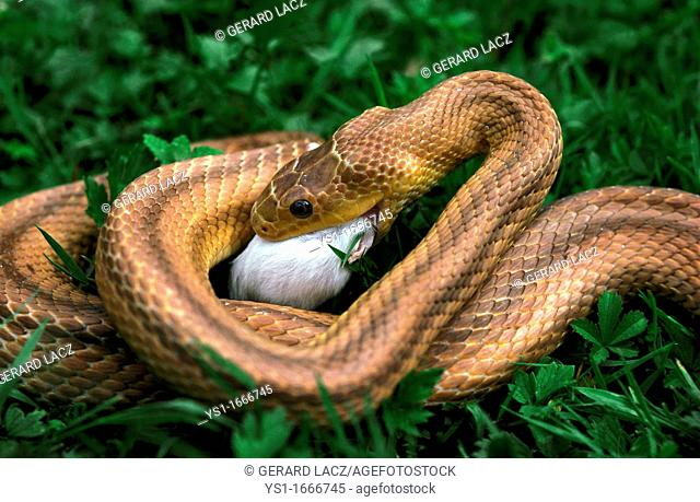 Four-Lined Snake, elaphe quatuorlineata, Adult eating White Mouse