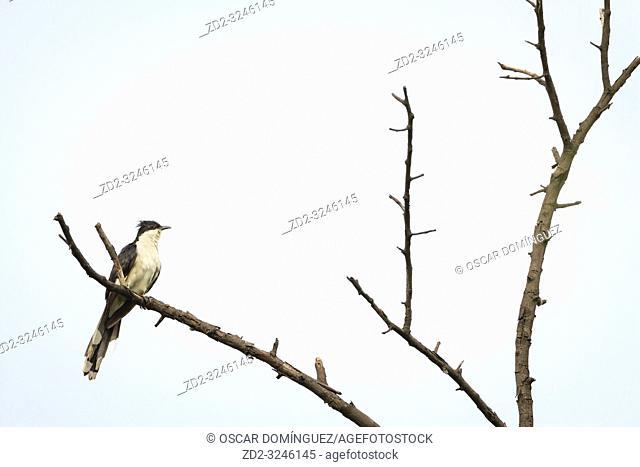 Jacobin Cuckoo (Clamator jacobinus) perched on tree. Keoladeo National Park. Bharatpur. Rajasthan. India