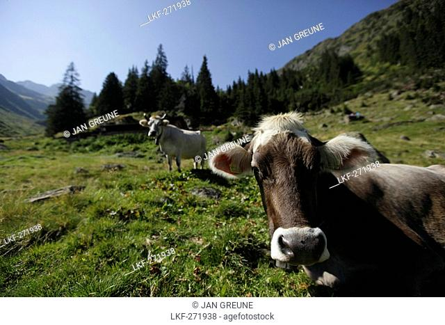 Cattle on pasture, Val di Fleres, South Tyrol, Trentino-Alto Adige/Suedtirol, Italy