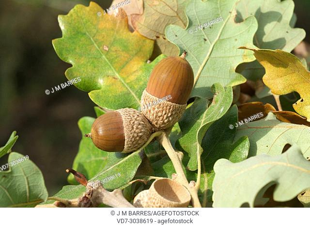 Downy oak or pubescent oak (Quercus pubescens or Quercus humilis) is a deciduous tree native to southern Europe and southwest Asia from Pyrenees to Turkey and...