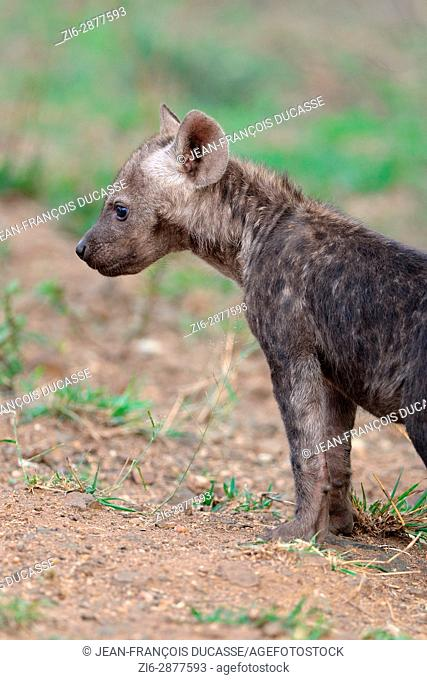 Spotted hyena or Laughing hyena (Crocuta crocuta), male baby standing, attentive, Kruger National Park, South Africa, Africa