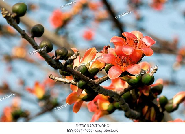 Kapok trees Stock Photos and Images | age fotostock