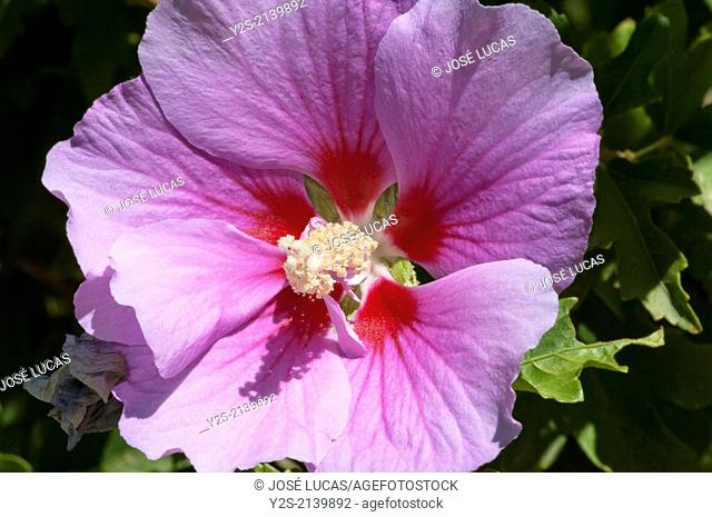 Rose of Sharon (Hibiscus syriacus), Alamillo's park, Seville, Region of Andalusia, Spain, Europe