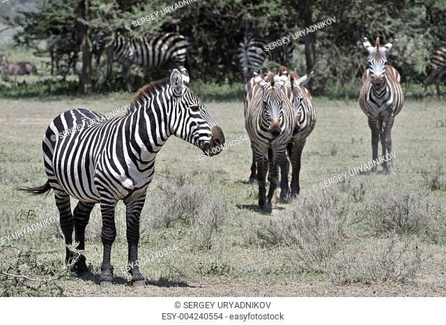 Wild zebras in Africa