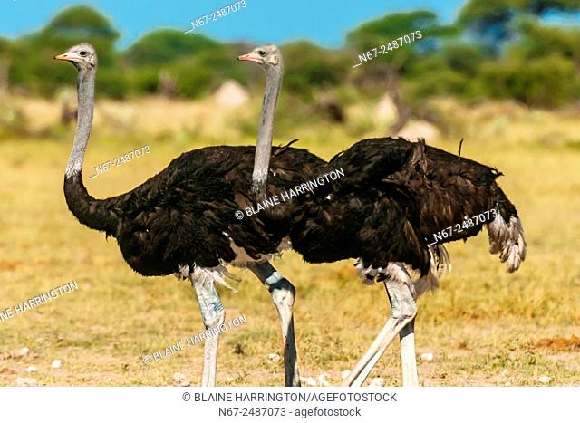 Male ostriches, Nxai Pan National Park, Botswana