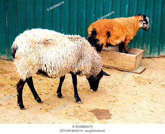 Two sheeps in farm backyard