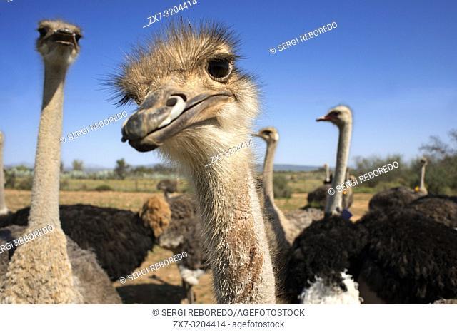 Safari ostrich show farm Oudtshoorn, Little Karoo, South Africa, Africa