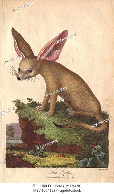 Zerda or fennec fox, Vulpes zerda. . Handcolored copperplate engraving from Ebenezer Sibly's Universal System of Natural History, 1794
