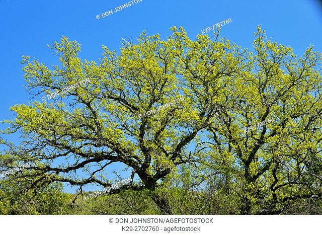 Oak trees with spring foliage, Pace Bend LCRA, Spicewood, Travis County, Texas, USA