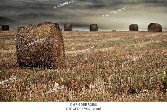 Wheat harvest - Bales of straw on the field before coming storm