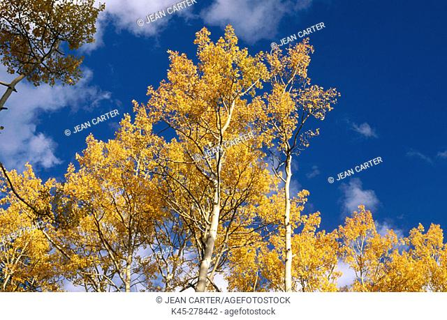 Quaking aspen trees (Populus tremuloides). Great Basin National Park. Eastern Nevada. USA