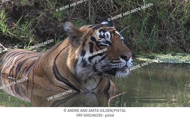 Bengal Tiger (Panthera tigris tigris) cooling down in water, Ranthambhore N.P. India