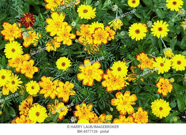 Yellow marigold (Tagetes), also Marigold, island of Flores, Azores, Portugal