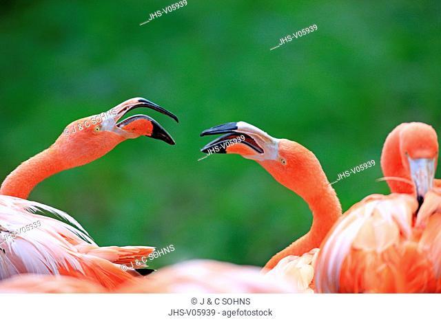 American Flamingo, Phoenicopterus ruber ruber, South America, adult couple portrait