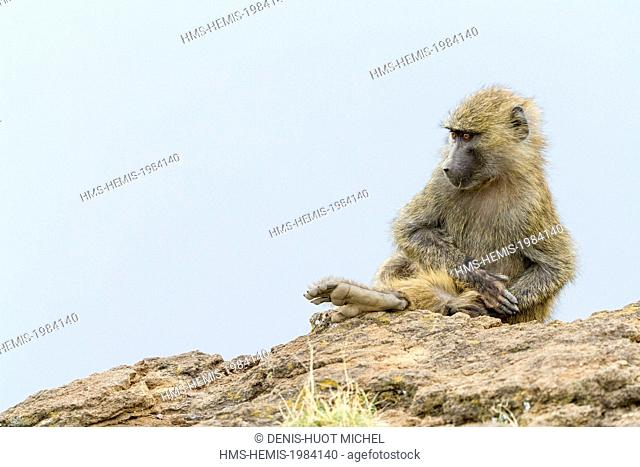 Kenya, Nakuru national park, listed as World Heritage by UNESCO, olive baboon (Papio hamadryas anubis), young cleaning himself